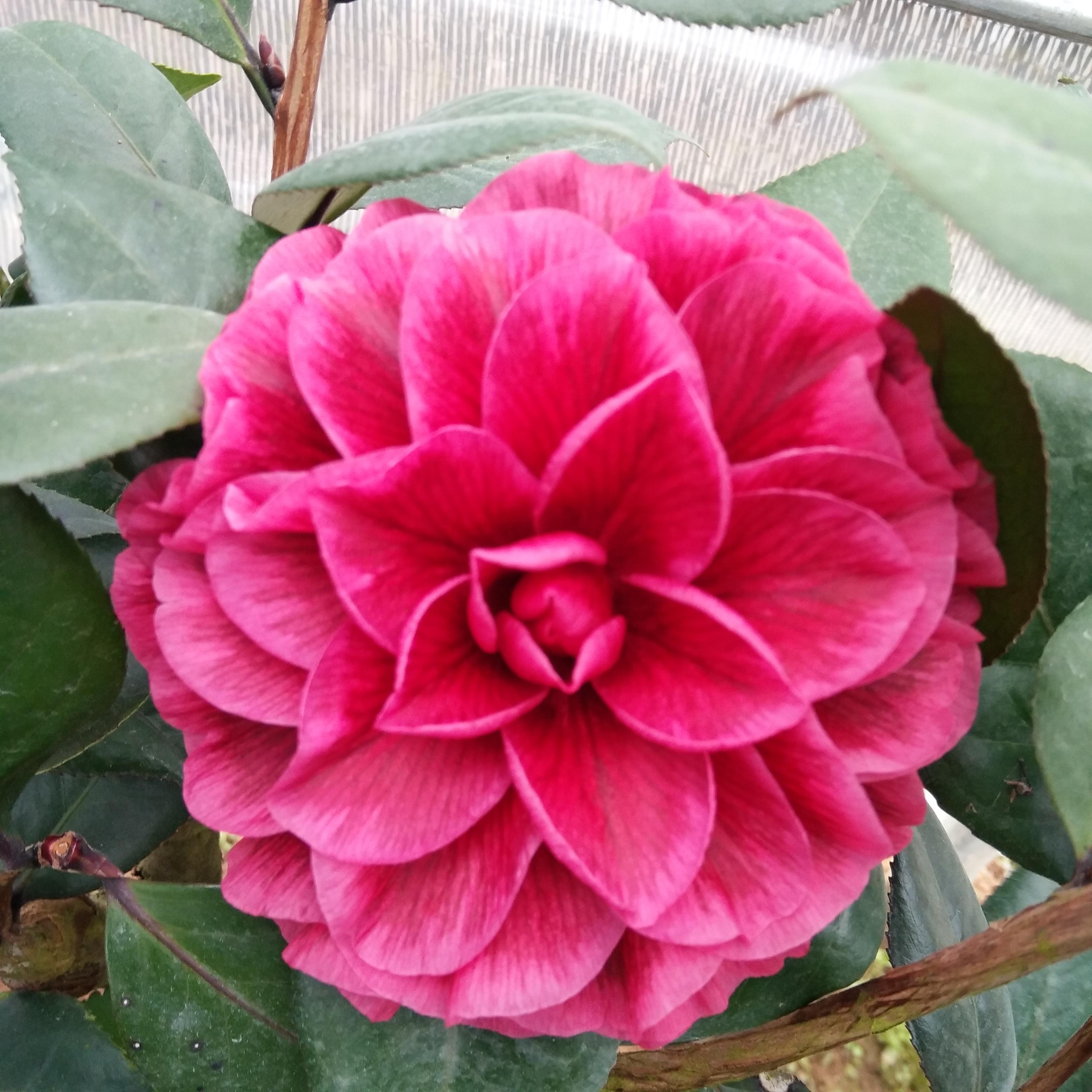 红叶贝拉茶花树苗 好养的花室内庭院阳台观叶赏花植物图片