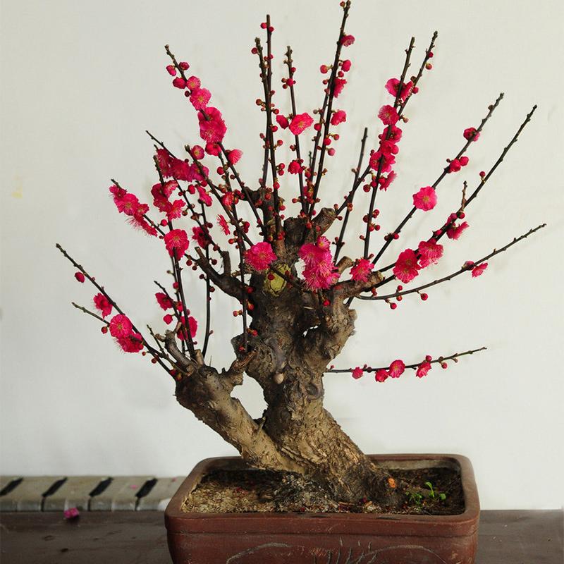 室内盆栽梅花盆景 红梅树桩 腊梅树苗冰梅花苗 庭院阳台花卉植物