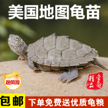 密西西比地图龟龟苗活体小乌龟宠物水龟观赏龟深水龟小地图龟包邮