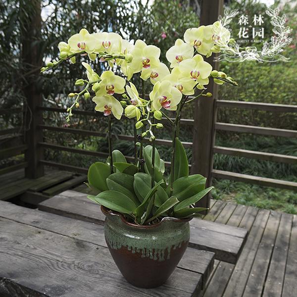 上海鲜花绿植同城速递 开业乔迁生日礼物新年礼品 蝴蝶兰花卉盆栽