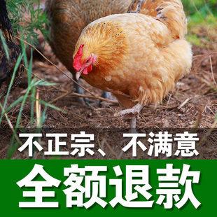 正宗2年散养土鸡苏北农家散养老母鸡草鸡柴鸡散养鸡现杀活鸡笨鸡