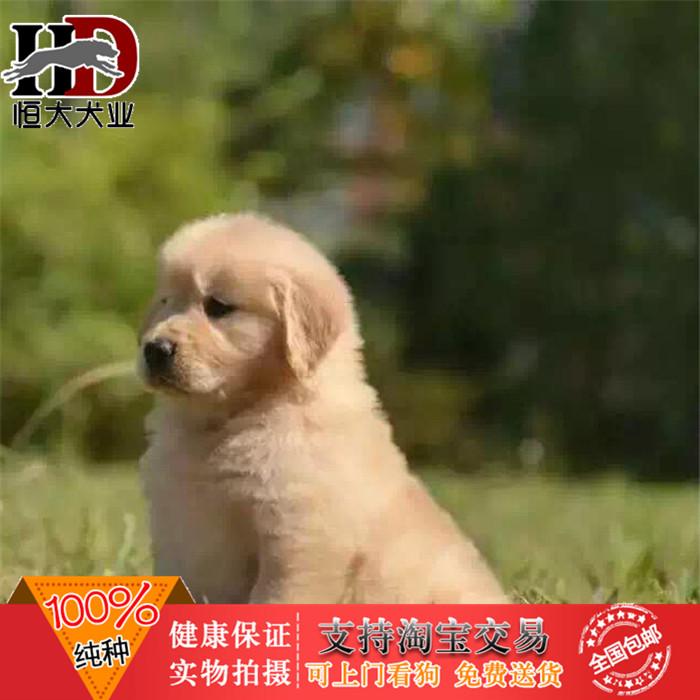 养殖纯种金毛宠物狗导盲搜救寻回猎金毛寻回幼犬出售包邮666