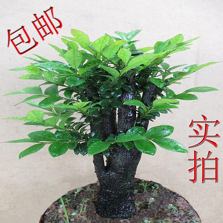 名贵小叶紫檀木树桩盆景