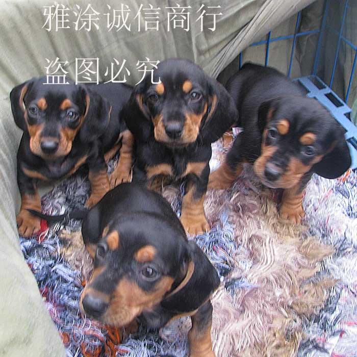◣迷你铁包金腊肠狗狗~公母均有 幼犬◢双皇冠!支持支付宝