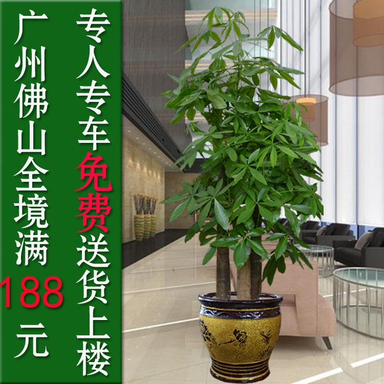 三桿發財樹盆栽 室內客廳大型盆景