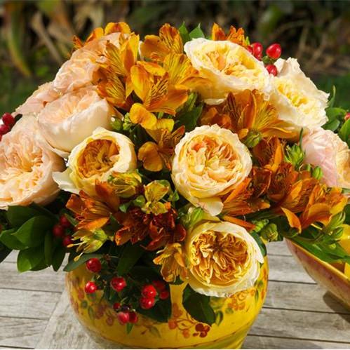 天心月季欧月花苗碧翠丝切花月季阳台盆栽庭院园植物玫瑰花卉