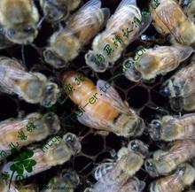 意蜂王 意蜂新王 意蜂蜂王 意蜂王种 蜜型王  蜜王浆王 意蜂蜂群