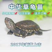 外塘中华草龟苗苏北皖南金线观赏龟宠物黑腹墨龟大小乌龟活体包邮