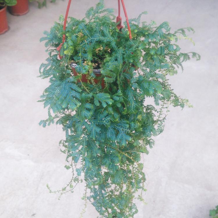 垂吊篮植物 变色龙 室内阳台花卉绿植园艺小盆栽净化空气去除甲醛