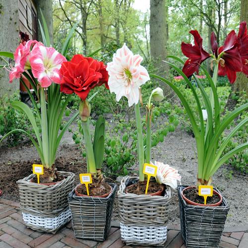 荷兰进口重瓣朱顶红大种球根种子盆栽对子莲水仙 朱顶红多肉