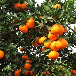 橘子水果 新鲜 现摘现发 5斤包邮宜昌柑橘多汁尝鲜孕妇儿童水果