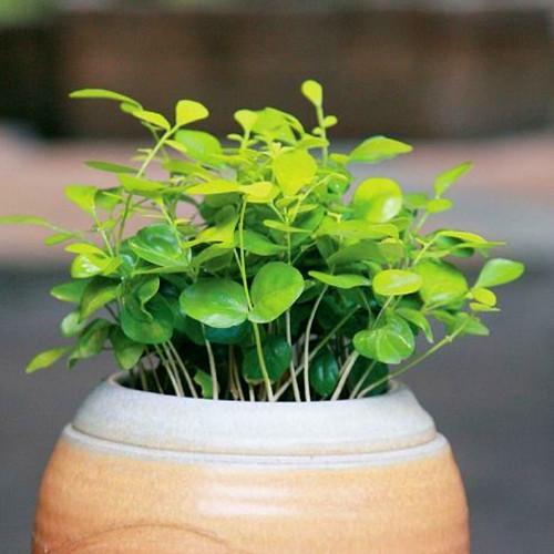 九里香种子 七里香 月橘 千里香 万里香 发芽快 种子变盆栽多年生