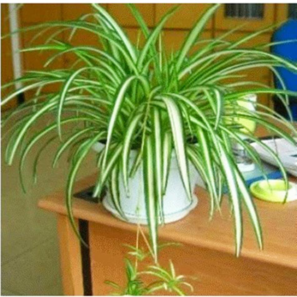 金边青叶金心吊兰粉掌绿萝栀子花植物花卉净化空气吸甲醛绿植