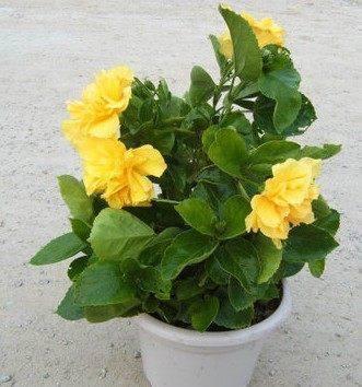 盆栽花卉黄色扶桑苗红色扶桑花苗 大花重瓣朱槿牡丹芙蓉花3年大苗
