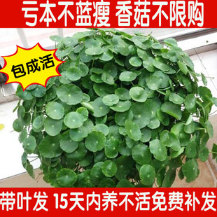 铜钱草水培绿植 植物 金钱草盆栽土培  带叶发货 除甲醛包成活