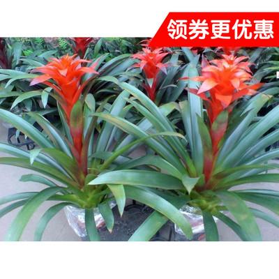 室内大型盆栽绿植盆栽植物盆景花卉 凤梨花 鸿运当头原装盆土发货