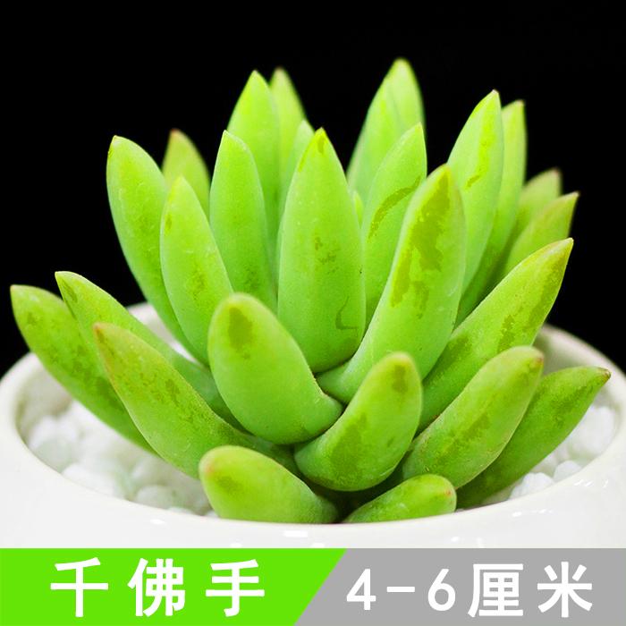 千佛手 多肉植物盆栽组合 又名王玉珠帘 桌面装饰绿植多肉9.9包邮