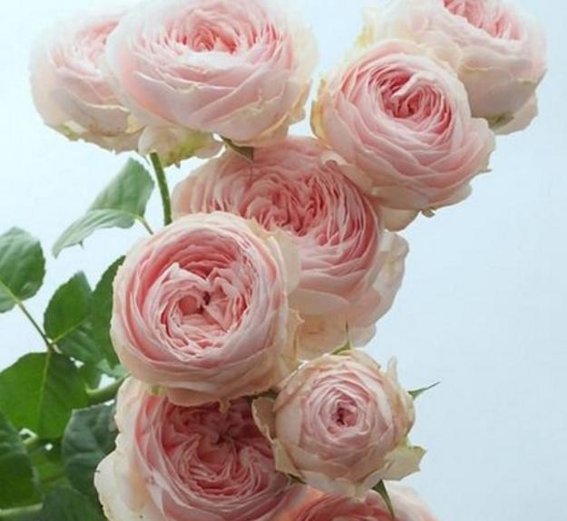 天心月季园 新品日本月季花 粉月亮 切花玫瑰月季 植物攀援蔷薇