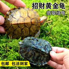招财黄金龟 乌龟活体宠物龟 水龟镇宅风水龟一对10cm 包风险 包邮