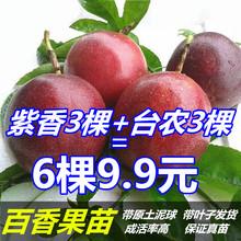 百香果苗正宗紫香一号百香果西番莲果树苗广西容县发货包邮