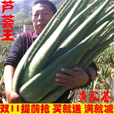 库拉索芦荟美容补水祛痘芦荟盆栽 可食用芦荟植物新鲜芦荟苗包邮