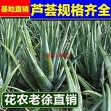 防辐射除甲醛芦荟大芦荟库拉索芦荟盆栽可食用 可直接美容芦荟